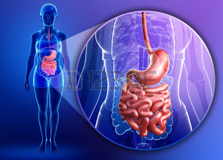 29930244-illustration-of-female-small-intestine-anatomy